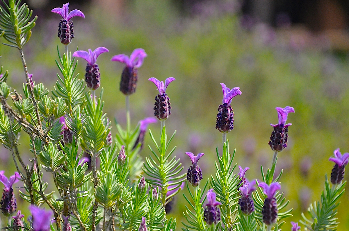 lavendersanyo02