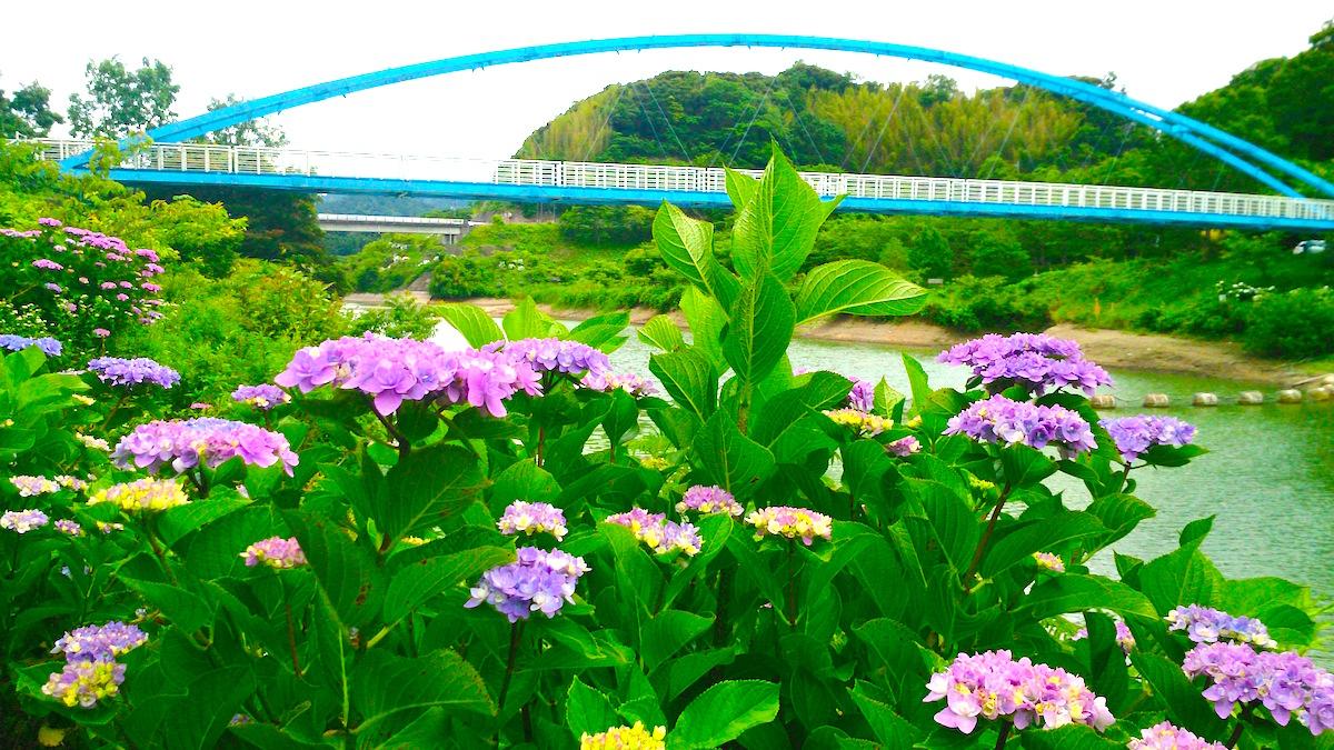 佐久間ダム湖・アジサイ