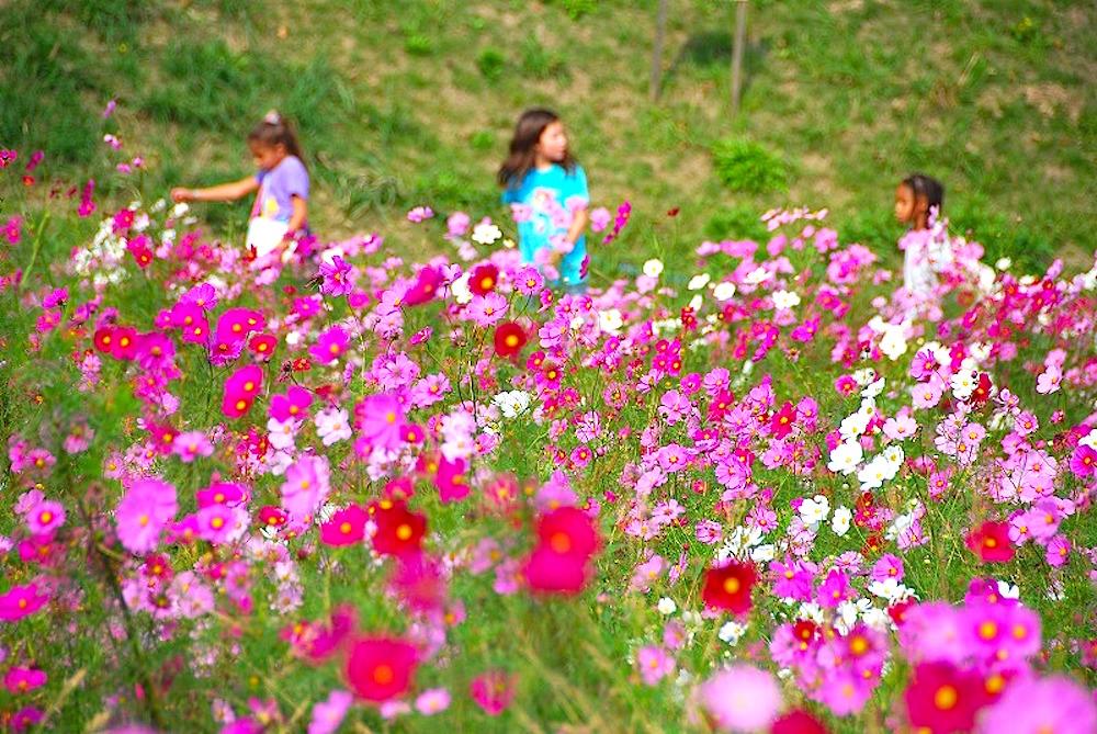 大人気の「コスモス無料花摘み大会」