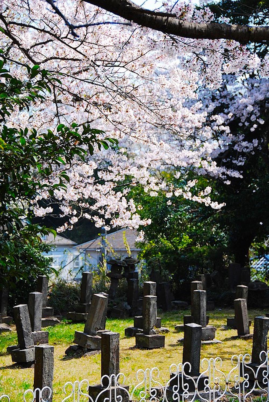 馬門山海軍墓地は桜の名所でもあり、桜のシーズンの写真もコンクールの対象に