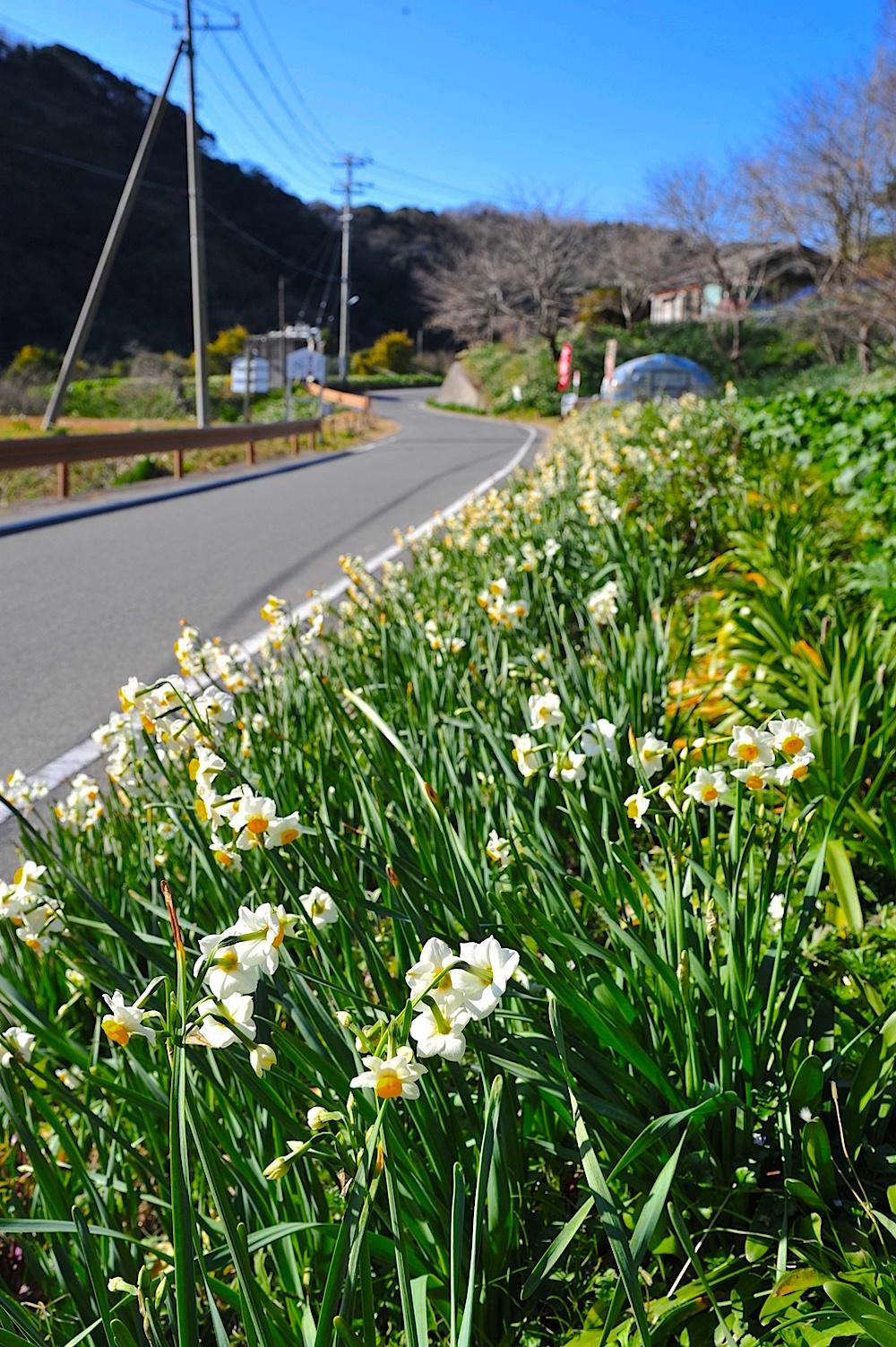町道沿いにも水仙が咲きますが、水仙畑の中を歩く散策コースも用意されています