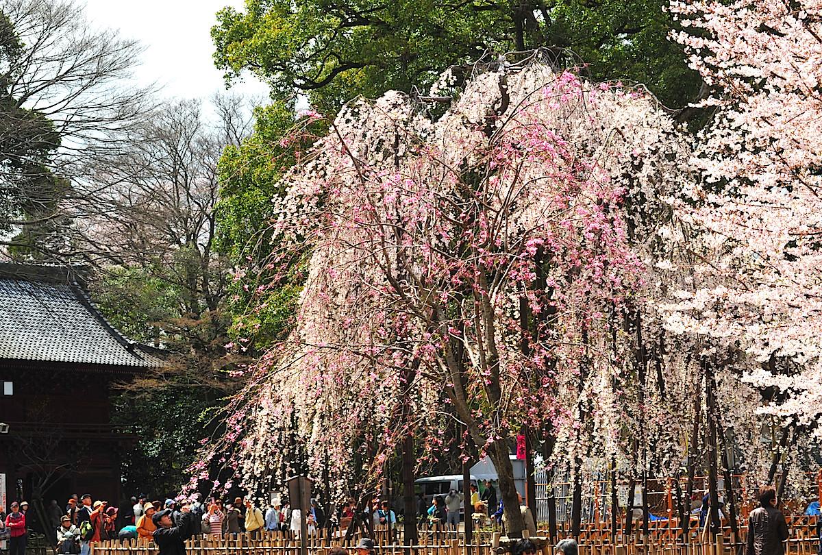 境内には伏姫桜の他、200本ほどの桜が開花