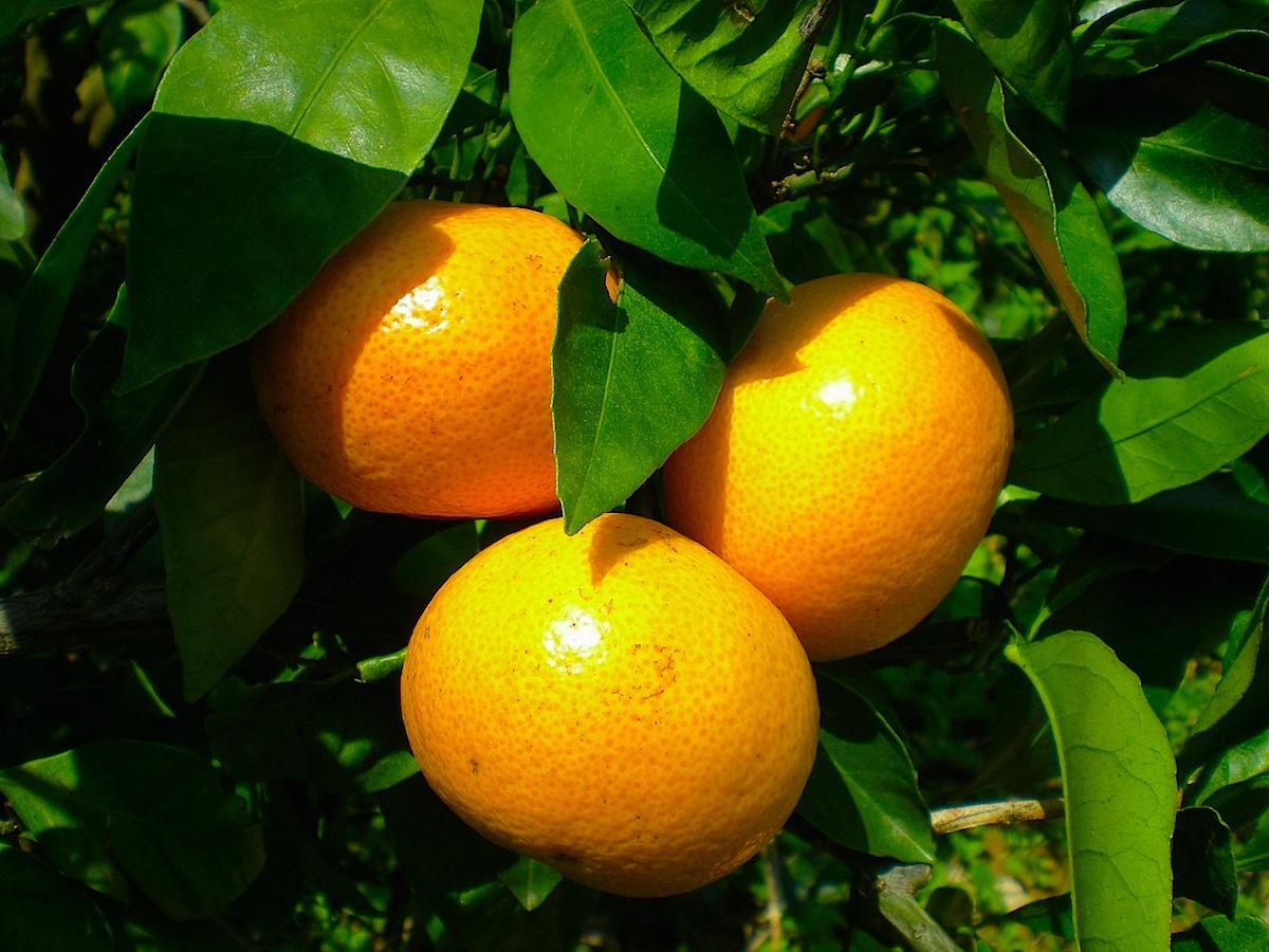 『ちばエコ農産物』の認証を受けた三芳地区の温州みかん