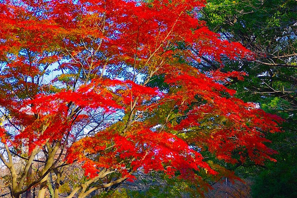 千葉公園・紅葉