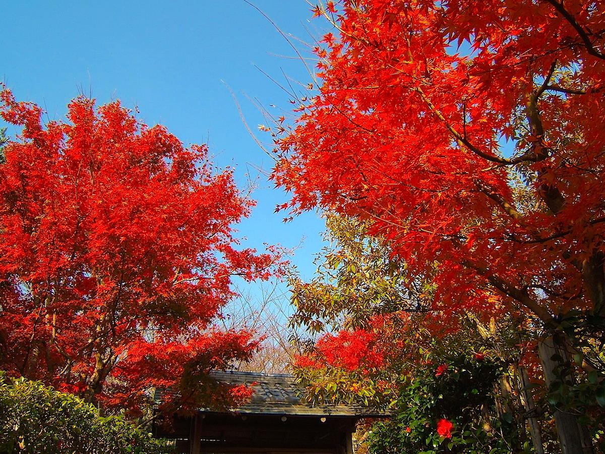 茶室「雁月庵」周辺の紅葉