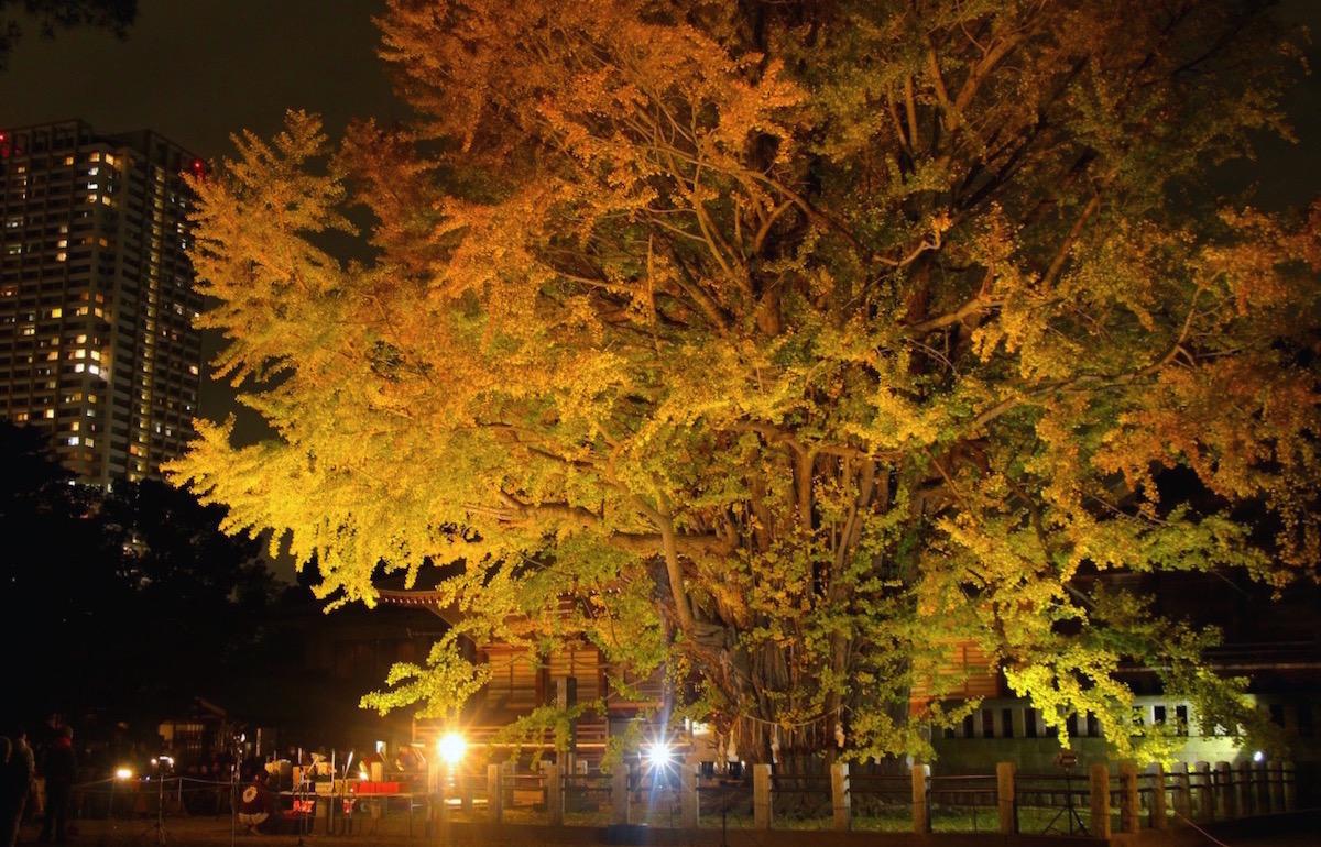 「千本公孫樹」のライトアップ