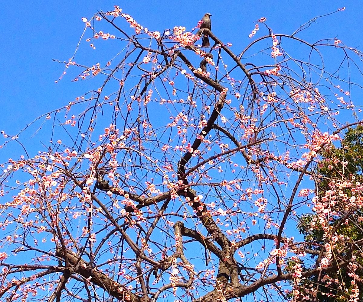 2月には梅も開花