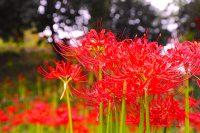 馬門山海軍墓地(旧横須賀海軍墓地)『彼岸花まつり&写真コンクール』