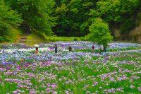 市原市の「いちはらクオードの森」(市民の森)で花菖蒲&アジサイ開花