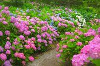 「花野辺の里」でアジサイ開花(勝浦市)