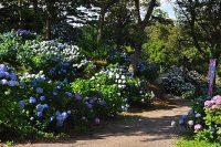 「東京ドイツ村」でアジサイ開花