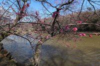 じゅん菜池緑地公園『梅まつり』(市川市)