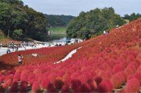 東京ドイツ村で、コキア見頃に